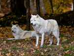 Two Arctic Wolves 1.