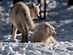 Two Arctic Wolves 2.