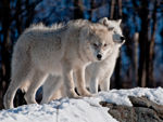Two Arctic Wolves In The Snow.