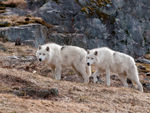 Two Arctic Wolves On The Hunt.
