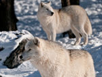 Two Arctic Wolves Standing In The Snow.