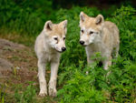 Two Artic Wolf Pups.