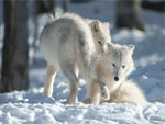 Two Playful Arctic Wolf Pups.