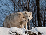 Two Playful Arctic Wolves.