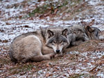 Two Resting Timber Wolves.