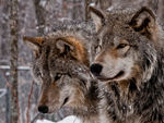 Two Timber Wolves Close Up.