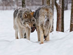 Two Timber Wolves In The Snow.