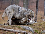 Two Timber Wolves Play Fighting A.