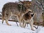 Two Timber Wolves Play Fighting B.