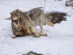 Two Timber Wolves Play Fighting In The Snow.