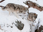 Two Timber Wolves Playing In The Snow.