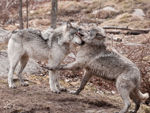 Two Timber Wolves Playing In The Woods.